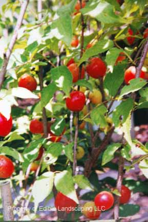 Cherry Joel Fruits